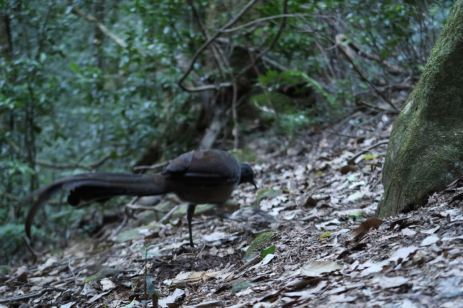The (not so shy) Lyrebird